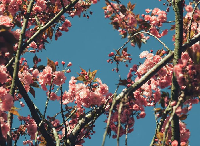natural frame from cherry blossom View Background Beautiful Natural Copy Space Colorful Blooming Season  Change Frame Pink Color Blue Sky Floral Flower Head Tree Flower Branch Springtime Pink Color Blossom Sky Close-up In Bloom Fruit Tree Botany Stamen Plant Life Cherry Blossom Cherry Tree Pollen