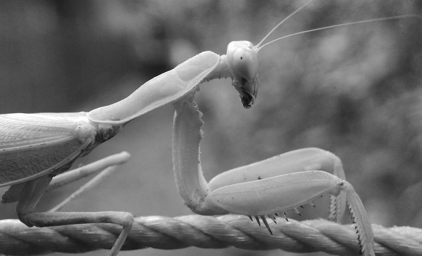 Belalang Black & White Black & White Animal Animal Body Part Animal Photography Animal Themes Animal Wildlife Animal_collection Animals In The Wild Belalang Belalangsembah Belalangtempur Blackandwhite Close-up Day Focus On Foreground Freshness Insect Nature No People One Animal Outdoors Plant UnderSea
