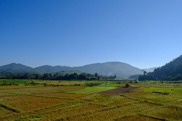 Scenic view of rice field against clear sky