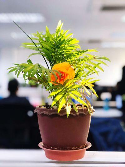 the plant Flower Potted Plant Bonsai Tree Close-up Plant Houseplant