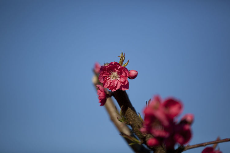 Low angle view of red flowers against clear blue sky
