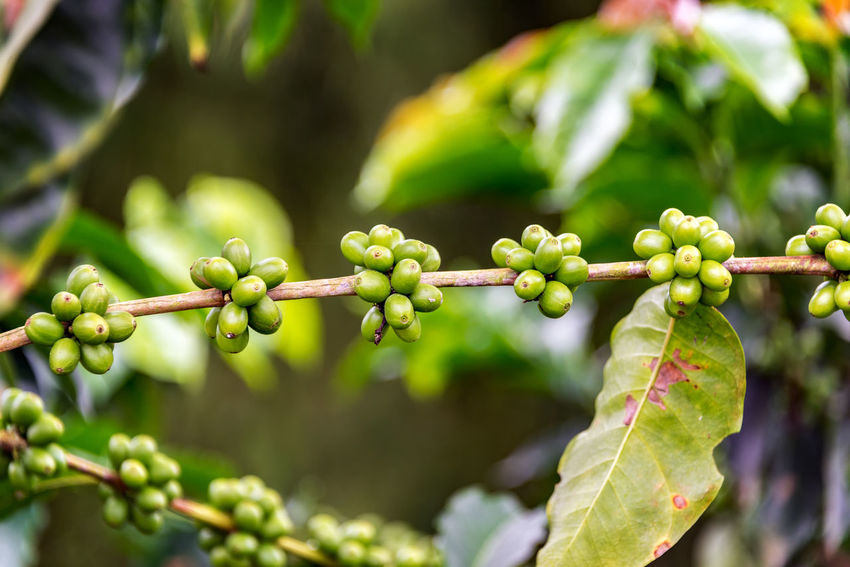 Closeup view of a branch on a coffee plant with coffee fruit growing on it near Manizales, Colombia Agriculture Berries Coffee Colombia Field Latin Manizales Natural Plant Plants Seed Tree Bean Caldas Chinchina Colombian  Drink Farming Forest Fresh Grain Landscape Leaf Mountain South America