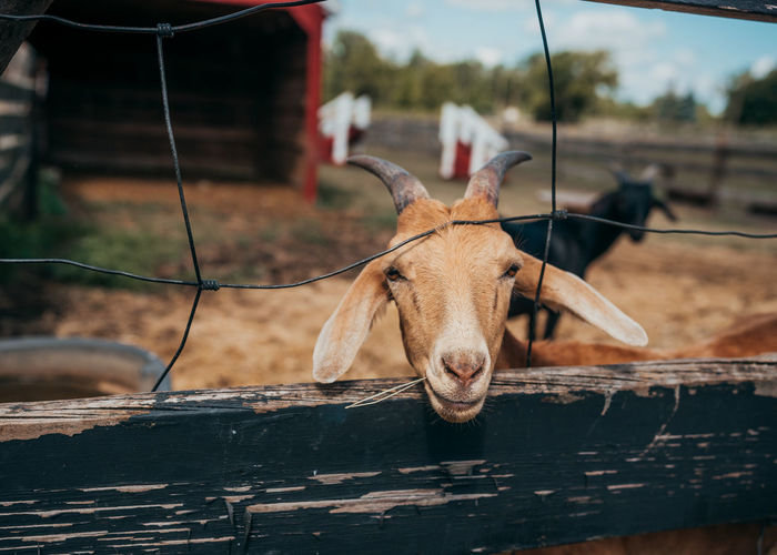 Goat Goats Animal Animal Head  Animal Wildlife Barrier Close-up Fence Focus On Foreground Hay Livestock Mammal Nature No People One Animal Outdoors