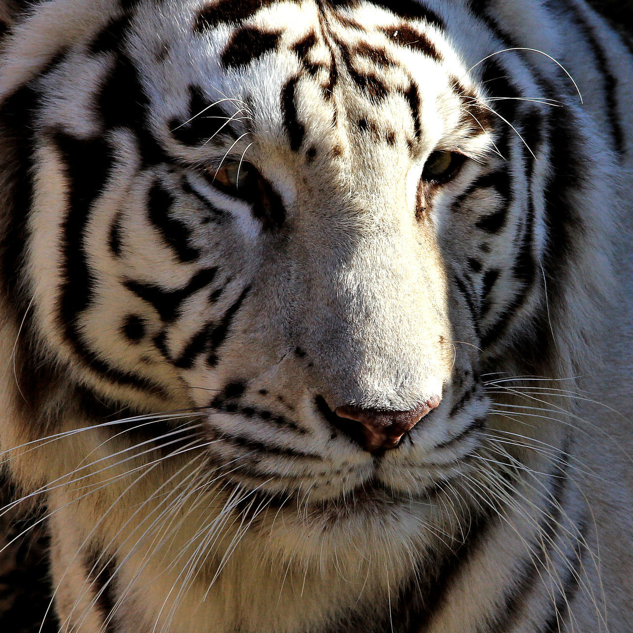 tiger, one animal, animals in the wild, animal wildlife, animal themes, striped, white tiger, endangered species, whisker, animal markings, no people, close-up, day, mammal, nature, outdoors, leopard