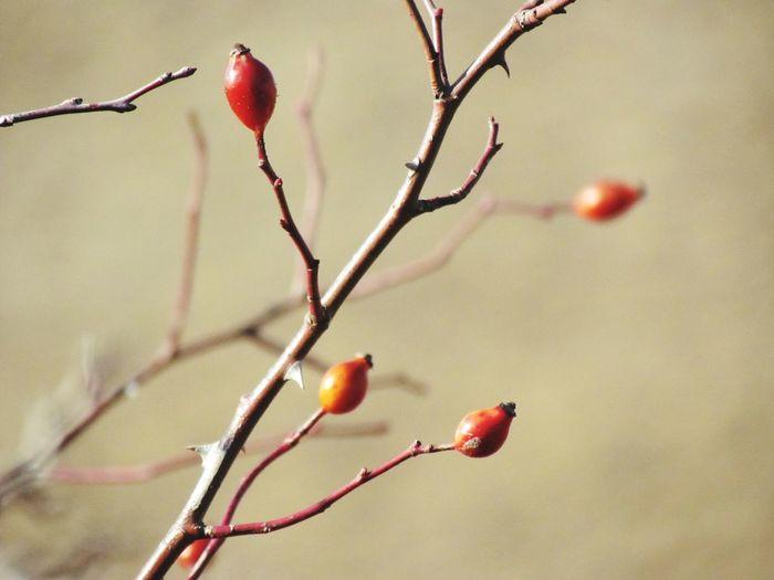 kuşburnu Kuşburnu Sonbahar Red Fruit Rose Hip Twig Food And Drink Tree Branch