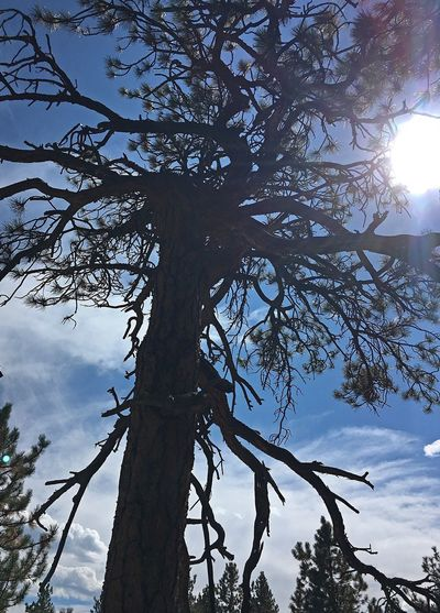 I fell in love with this tree 😍 Low Angle View Tree Sky Sun Tree Trunk Branch Sunlight Nature Sunbeam Growth Tranquility Beauty In Nature Cloud Day Lens Flare Scenics Cloud - Sky Blue Tranquil Scene Outdoors Nature Photography Naturelovers IPhoneography Colorado Photography Mountains ❤️❤️❤️❤️