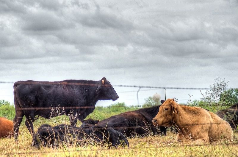 Cattle on grassy field against cloudy sky