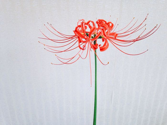 Close-up of red spider lily blooming outdoors