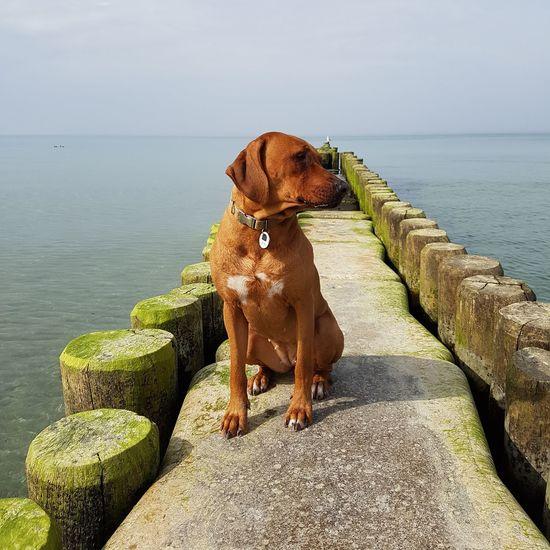 EyeEm Selects Dog One Animal Sea Water Ostsee Baltic Sea Nofilter Hund Rhodesianridgeback Rhodesian Ridgeback Löwenhund Liondog Landschaft Nature No People Beach Outdoors Sand Nature Pets Animal Themes