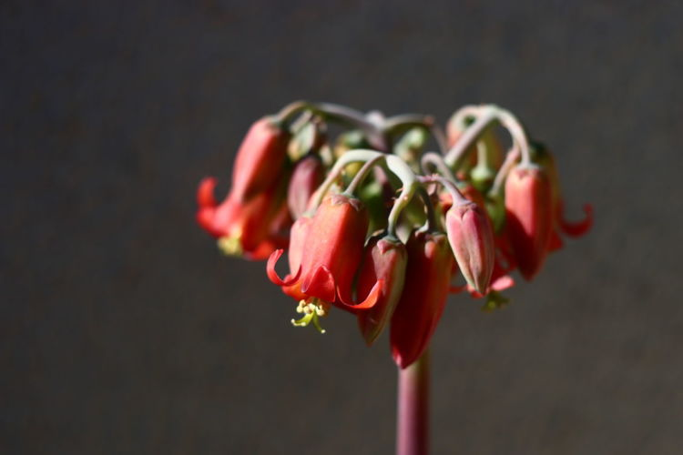 Close-up of red flowering plant against black background