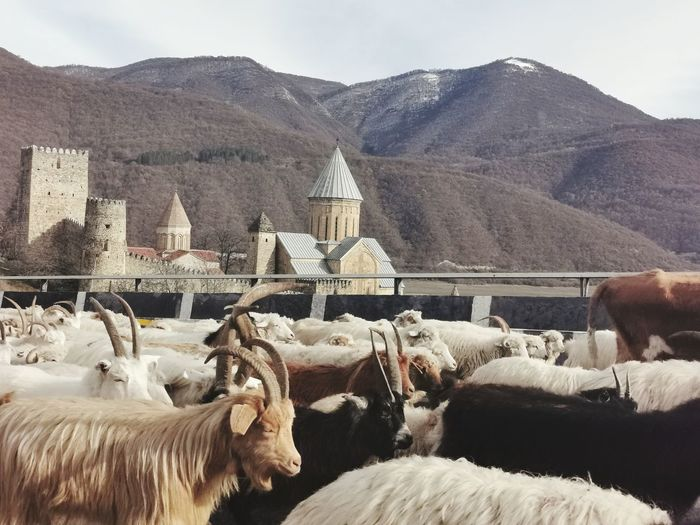 View of sheep on mountain range against sky