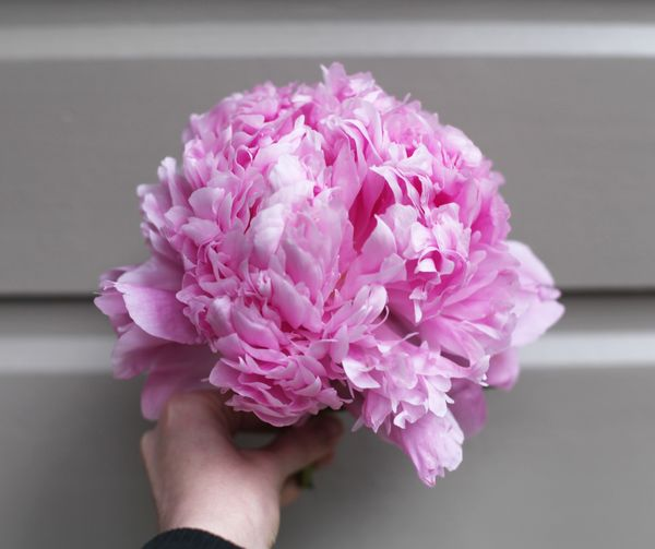 Large pink peony in hand Rosa Generosity Gift Love Lovely Serene Beauty Growth Grow Meditate Meditation Blossom Bloom Blooming Center Hand Pfingstrose Peony  Pink Color Human Hand Flower Hand One Person