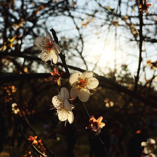 Nature Beauty In Nature Growth Flower Tree Fragility Focus On Foreground Close-up Blossom No People Petal Springtime Flower Head Twig Outdoors Branch Sky Freshness Day Plum Blossom