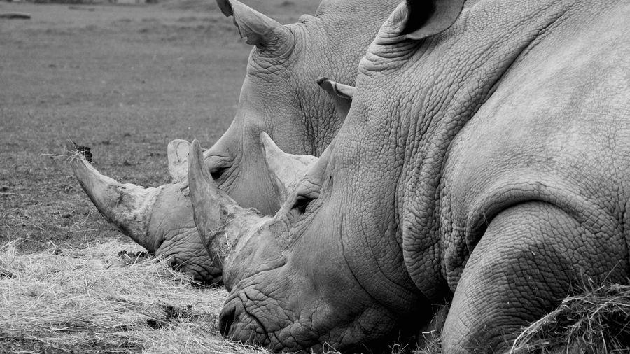 Close-up of rhinoceros lying on field