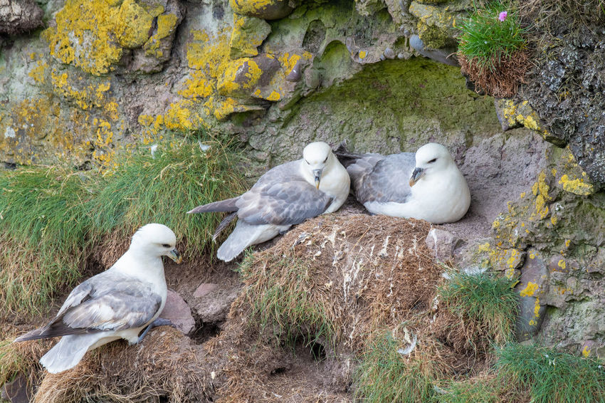 Fulmars (Fulmarus glacialis) nesting on a cliff edge Fulmar Animal Animal Family Animal Themes Animal Wildlife Animals In The Wild Bird Day Fulmarus Glacialis Group Of Animals Nature No People Outdoors Perching Plant Rock Rock - Object Solid Tree Vertebrate White Color Young Animal
