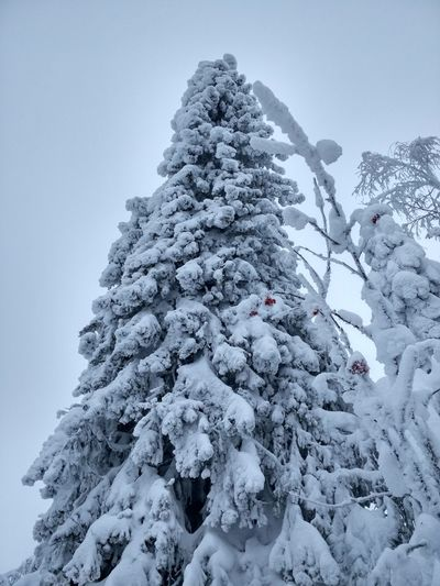Snow spruce Spruce christmas tree Fir Tree Snow Cold Temperature Winter Spruce Tree Snowing Forest Pinaceae Pine Tree Frozen