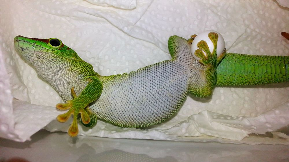 """Greedy-Gein"" (Phelsuma grandis, female) ist just laying eggs. 2017-04-16, 4:08pm. Laying Laying Eggs Egg Eggs... Greedy Sensation New Life & New Hope New Life Grows Animal Themes Special_shots Hello World Born To Be Beautiful Jurassic World Of Dino's Check This Out Special Shot Especially Exotic Creatures Wonderful Nature God's Beauty Dino's Photography Green Colors Green Animal New Life.... Green Color Close-up EyeEm Diversity"