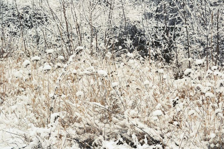 Outdoors Plant Winter Snow Covered Snowfall Textured  Frozen Snow Cold Temperature Wintertime Weather Beauty In Nature Patterns In Nature Backgrounds Background Full Frame Frost Pattern Tranquility Growth Sepia Abstract Textured  Flower In Snow White Color Shades Of Winter