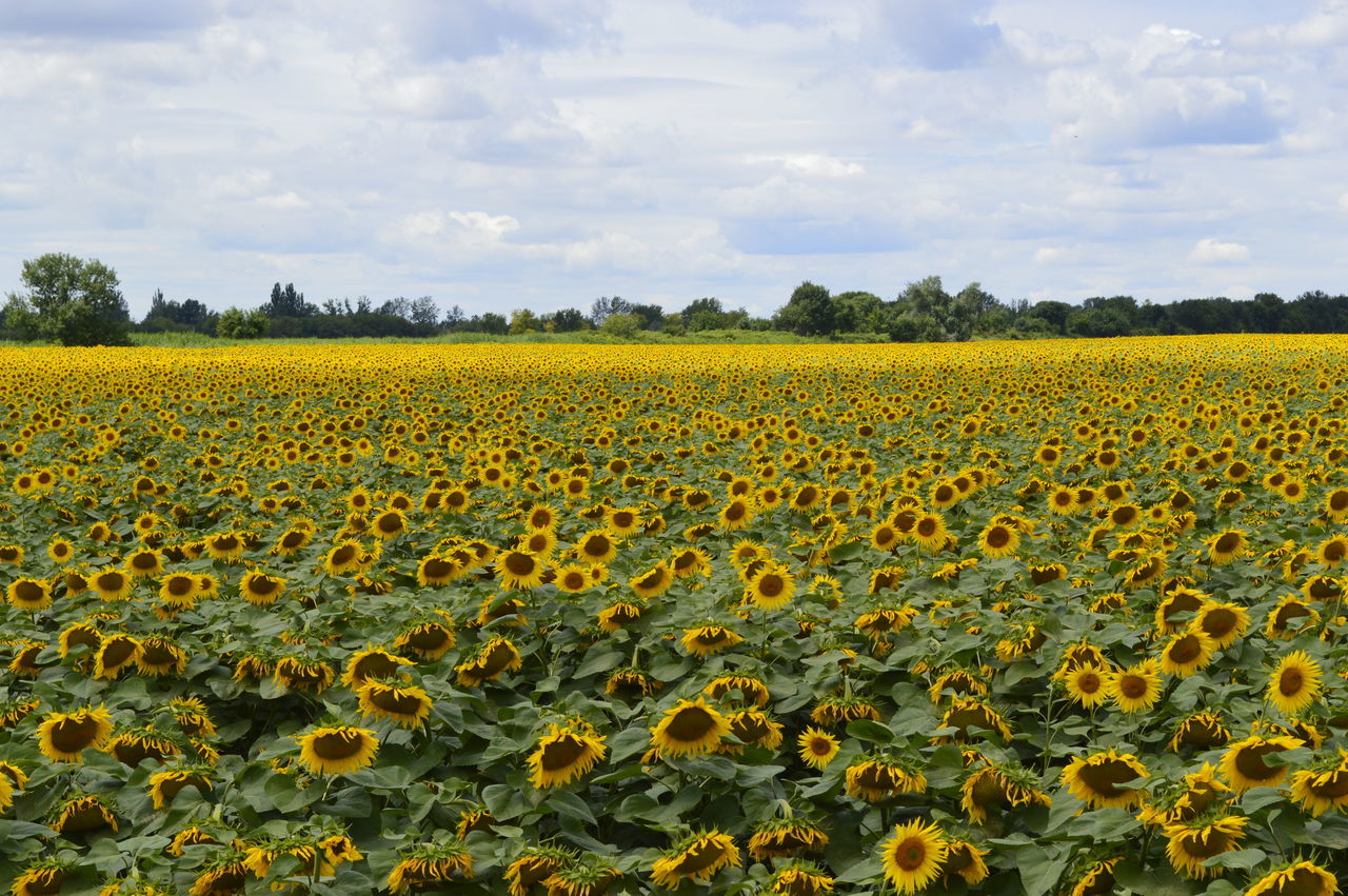 Scenic View Of Yellow Flowers Growing In Field Against Sky