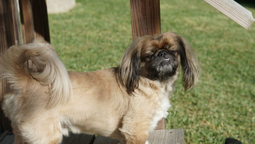 Animal Themes Close-up Day Dog Domestic Animals Evening Mammal Messy Hair Dont Care No People One Animal Outdoors Pekingese Pets Shih Tzu