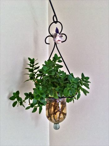 Architecture Close-up Cuttings Day Green Color Growth Hanging Indoors  Leaf Nature No People Plant White Background