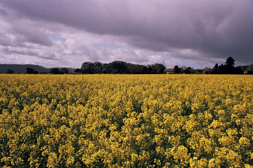 Landscape Agriculture Field Crop  Cloud - Sky Flower Dramatic Sky Rural Scene Growth Beauty In Nature No People Landscape Sky Storm Cloud Day Plant Nature Outdoors Rapeseed Rapeseed Field Yellow Flower Yellow thunderstorm Stormy Sky Stormy Weather