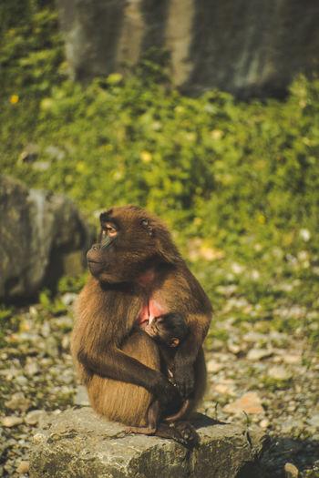 Monkey Sitting Full Length Baboon Ape Animal Themes Close-up Primate Orangutan Gorilla Endangered Species Banana Peel Tropical Rainforest Animals In Captivity Japanese Macaque Japanese Macaque Aquarium Tiger Panda - Animal Rainforest Giant Panda Cage Threatened Species Chimpanzee Madagascar  Infant Perching Zoo Lemur