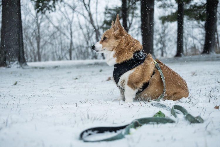 Close-up of a dog on snow covered land
