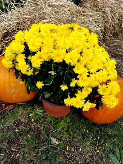 flowers and pumpkins Pumpkins Halloween Flower Flower Head Yellow High Angle View Close-up Grass
