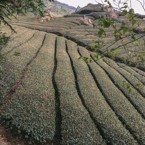 Panorama Taiwan Tea Plantation  Landscape Green Scenery ShotOnIphone Ali Mountain Full Frame Pattern Day No People High Angle View Backgrounds Nature Growth Landscape Agriculture Textured  Land Sunlight Rural Scene Close-up Outdoors Plant Shadow Field
