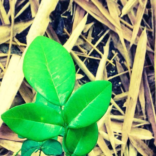 Leaves Green