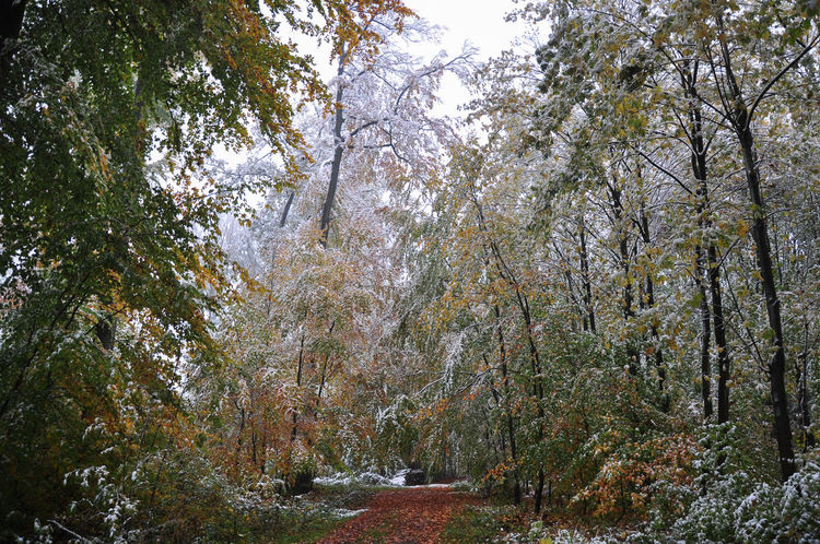 Autumn Autumn Colors Autumn Leaves Foliage Plant Forestry Weather Phenomenon Beech Trees Early Snowfall Forest Snow Snow Bending Trees Snow Covered Unusual Weather Weather Condition Winter Damage
