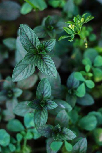 fresh mint 🌿🍃