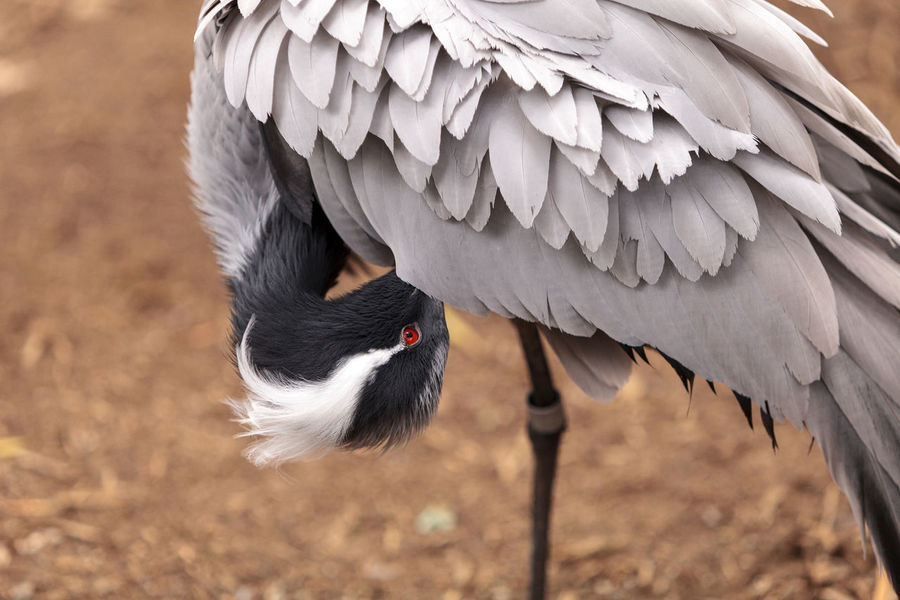 Demoiselle crane Grus virgo preens its gray and white feathers. This bird is found in Mongolia and China. Animal Themes Animal Wildlife Animals In The Wild Beak Bird China Crane Day Demoiselle Crane Feather  Grus Virgo Mongolia Nature No People Outdoors Red Eye Wild Bird Wildbird Wildlife Wing