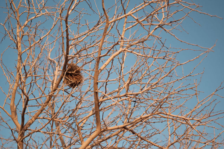Nest Nest Home Animal Themes Bird Tree Perching Branch Bare Tree Blue Dried Plant Sky Animal Themes Dead Plant Dead Tree Fallen Tree Plant Bark Tree Trunk Dried Dry Wilted Plant Mourning Dove Growing