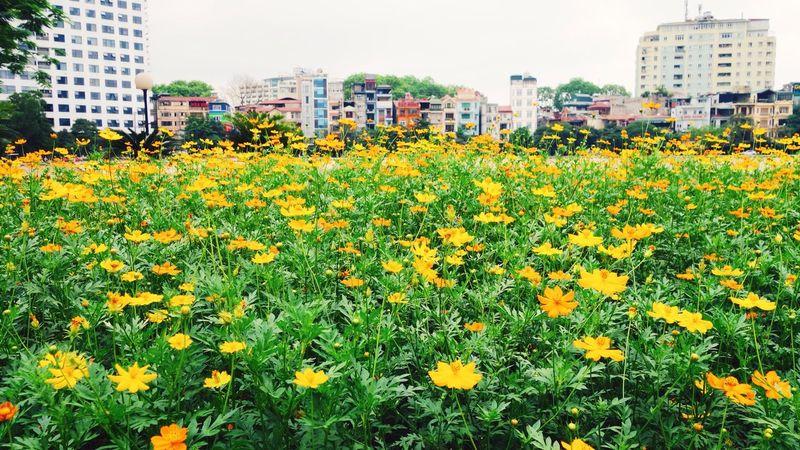 Hanoi Urban Garden Flower Yellow Urban City ASIA Paint The Town Yellow