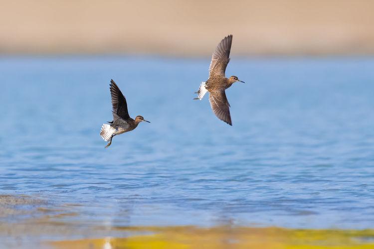 【林鹬】爱的追逐 Bird Of Prey Bird Spread Wings Flying Water Fishing Bald Eagle Sea Mid-air Sky