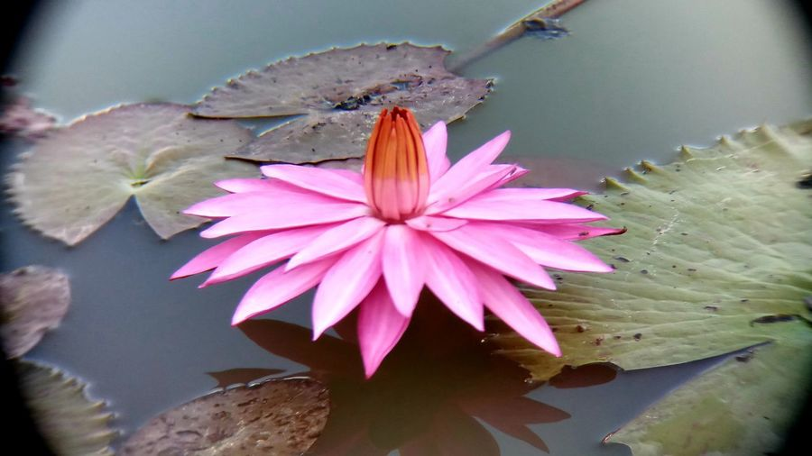 Beauty In Nature Close-up Day Flower Flower Head Flowering Plant Fragility Freshness Leaf Lotus Water Lily No People Pink Color Plant Water Lily