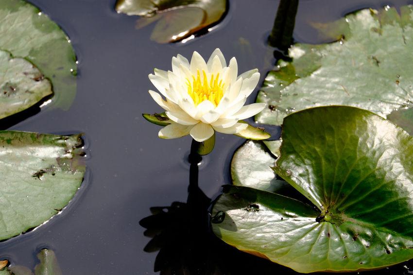 睡蓮 Water Lily Blooming Flower Flower Collection Flowerporn Flowers Fujifilm Fujifilm X-E2 Fujifilm_xseries Japan Japan Photography Pond Water Lily Xc50230 スイレン 市川 手児奈霊神堂 沼 睡蓮 花