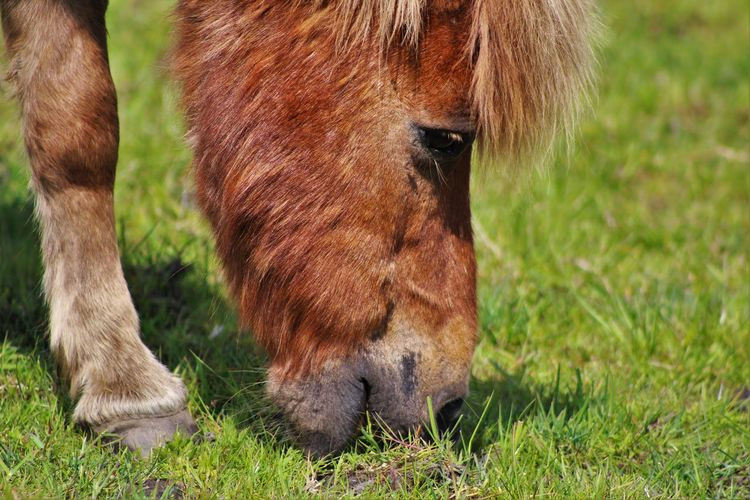 Animal Animal Body Part Animal Hair Animal Head  Animal Themes Brown Close-up Day Domestic Animals Field Focus On Foreground Grass Grassy Grazing Green Color Herbivorous Landscape Livestock Mammal Nature No People Outdoors Pony Eating Portrait