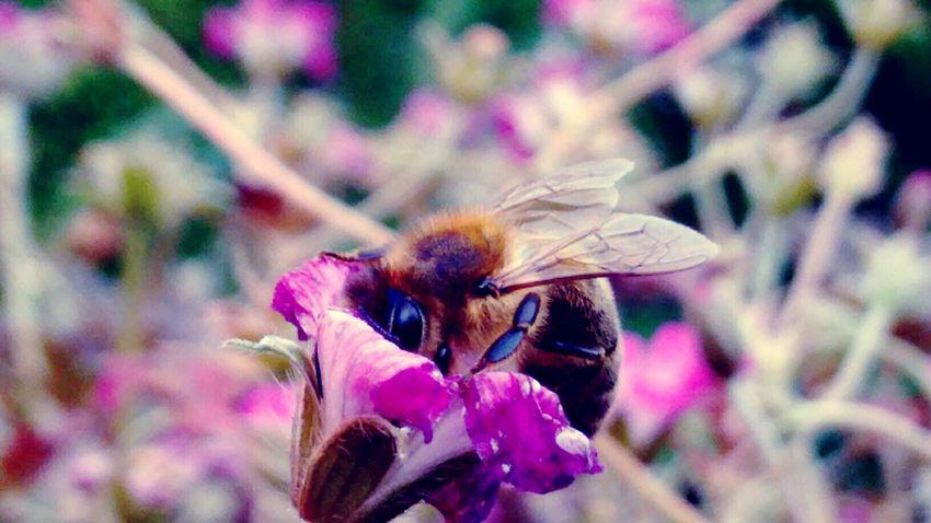 Bienen  Bienenweide Storchenschnabel Zwanzig16 Imkerei Meise3