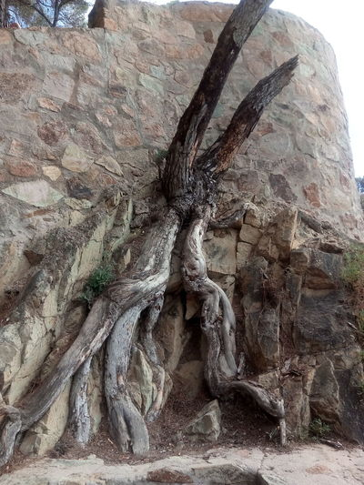 Day No People Outdoors Nature Tree Stone Wall Stonewall Embedded Branches Merged Roots Tree Roots