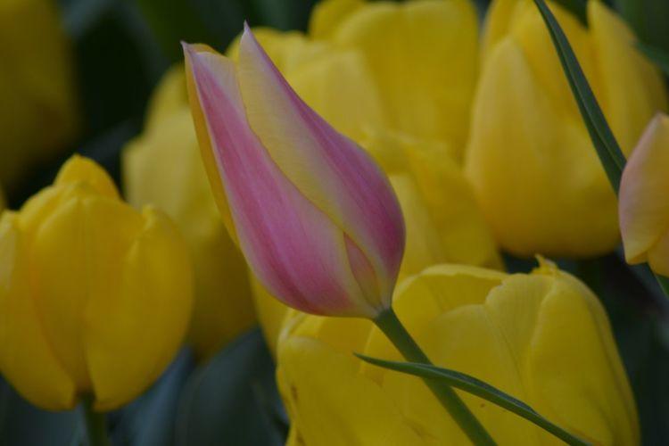 Nikonphotography Nikon D5200 Macro Tulips Streetphotography Severekçekiyoruz Amateurphotography