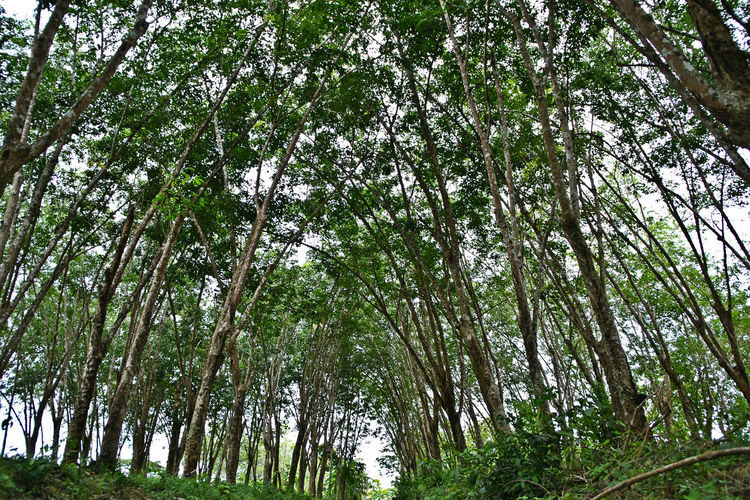 Beauty In Nature ❤️❤️ EyeEmNewHere Rubber Plantation Growth Nature No People Outdoors Scenics Tranquility Tree