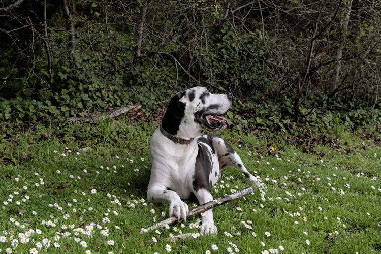Happy dog with his stick in spring flower bloom green grass.