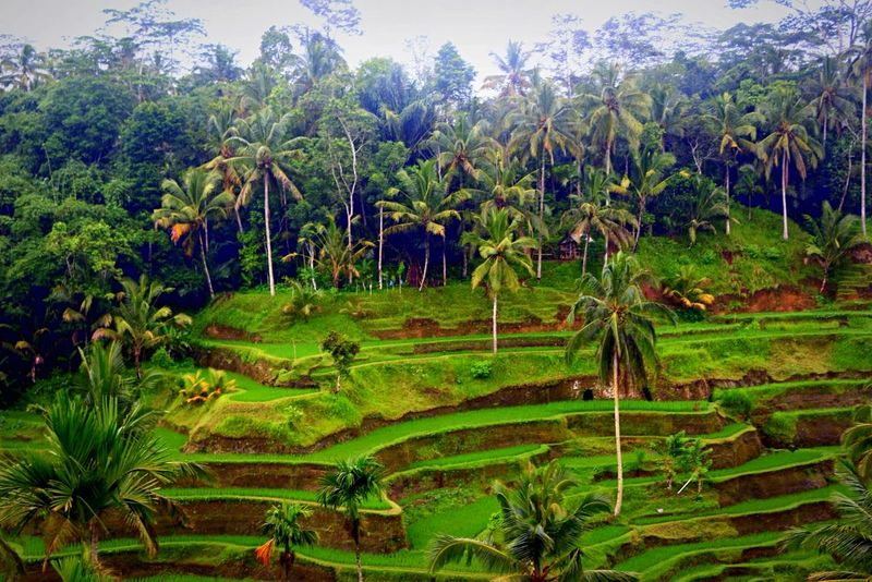 Beautiful Terraced Rice Fields in Bali, Indonesia . These fiellds are so Serene to look at, that you can just sit there doing nothing