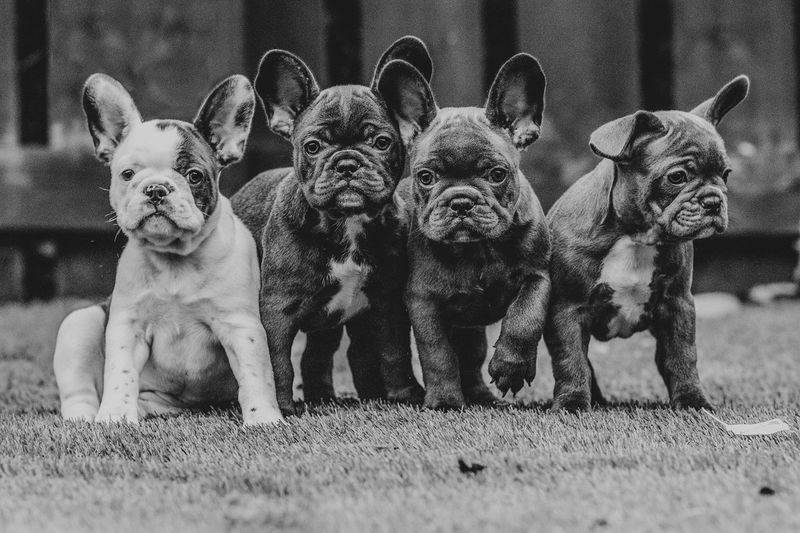French bulldog pups Puppies Frenchbulldog EyeEm Selects Archival Dog Mammal Looking At Camera Animal Themes Day Portrait Outdoors No People Pets