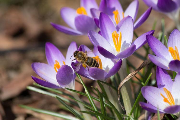 Close-up of bee on purple crocus