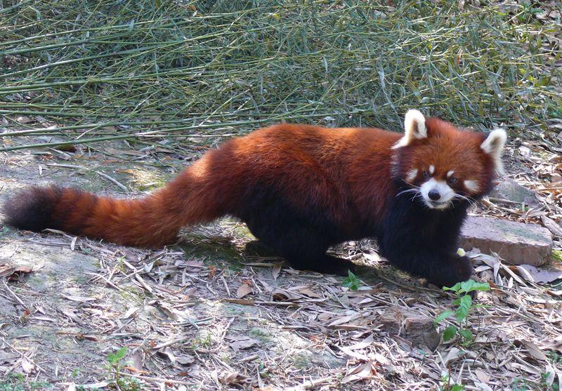 Animal Themes China Photos Nature Outdoors Pandas♥ Relaxation