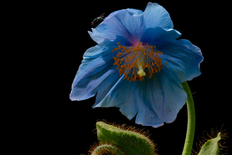 The lovely Himalayan Blue Poppy and a fly Nature Copy Space Growth No People Pollen Inflorescence Black Background Flower Head Freshness Close-up Petal Fragility Beauty In Nature Plant Vulnerability  Flowering Plant Flower Meconopsis Himalayan Blue Poppy, Meconopsis Lingholm, Fly, Insect Blue, Blue Flower,